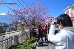 Japanese cherry blossom viewing blooming lakeside Sapa